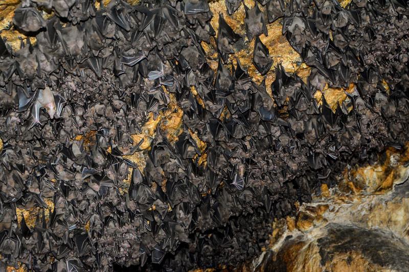 Fruit Bats (Chiroptera) 3