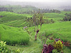 The rice fields of Jatiluwih