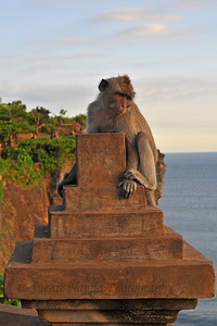 A monkey holds onto the walls of Pura Luhur Uluwatu, Bali.  Pura Luhur Uluwatu is one of Bali's kayangan jagat (directional temples) and guards Bali from evil spirits from the south-west. Major Hindu deities dwell in Uluwatu such as - Bhatara Rudra, God of the elements and of cosmic force majeures. Bali's most spectacular temples located high on a cliff top at the edge of a plateau 250 feet above the waves of the Indian Ocean. Uluwatu lies at the southern tip of Bali in Badung Regency. Dedicated to the spirits of the sea, the famous Pura Luhur Uluwatu temple is an architectural wonder in black coral rock, beautifully designed with spectacular views. This is a popular place to enjoy the sunset. Famous not only for its unique position, Uluwatu also boasts one of the oldest temples in Bali, Pura Uluwatu. Most of Bali's regencies have Pura Luhur (literally high temples or ascension temples) which become the focus for massive pilgrimages during three or five day odalan anniversaries. The photogenic Tanah Lot and the Bat Cave temple, Goa Lawah, are also Pura Luhur. Not all Pura Luhur are on the coast, however but all have inspiring locations, overlooking large bodies of water.  Uluwatu is a small village on the west coast, south of Jimbaran, but for most visitors it refers only to the famous temple of the same name and several kilometers further south at the coast. A taxi from Kuta to Uluwatu takes about 30 minutes up and down winding roads.  The temple is inhabited by large number of monkeys, who are extremely adept at snatching visitors' belonging, including bags, cameras and eyeglasses. One has to keep a very close grip on all your belongings. Anu carried a stick like some others and I carried my tripod. :) If you do have something taken, the monkeys can usually be induced to exchange it for some fruit. Needless to say, rewarding the monkeys like this only encourages them to steal more. Locals and even the temple priests will be happy to do the job for you, naturally i