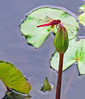 Magenta dragonfly in the pond at Proud Phu Fah.