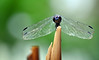 Drangon Fly