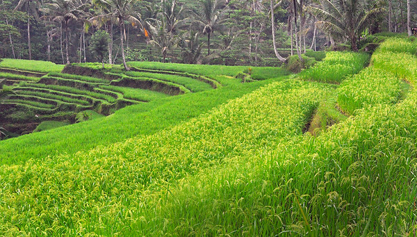Terraced+rice+fields+at+temple-739114413-O