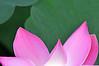 Pink lotus flower petals