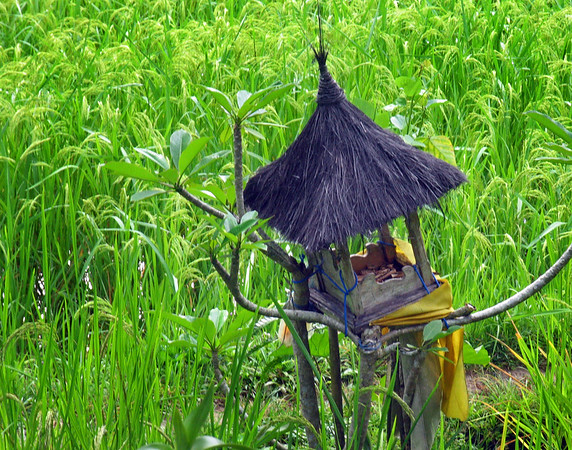 Rice+field+offering-739182011-O
