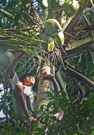 Harvesting+coconuts-734635999-O