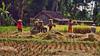 Balinese+women+harvesting-1180753148-O