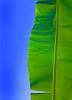 Banana+leaf+study-734578274-O