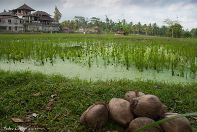 Ricefields near Ubud