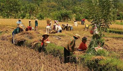 Ploegendienst in de rijstvelden van Iseh. Bali, Indonesië.
