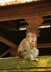 Agressieve apen in Monkey Forest Ubud. Ubud, Bali, Indonesië.