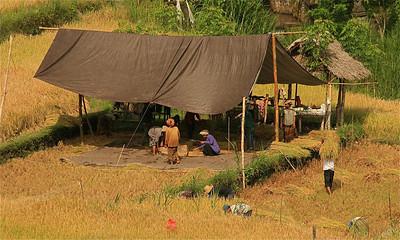 Aan het werk in de rijstvelden bij Tirtagganga. Bali, Indonesië.