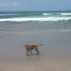 Wild dogs on the beach in Seminyak.