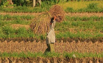 Aan het werk in de rijstvelden rond Amlapura. Bali, Indonesië.