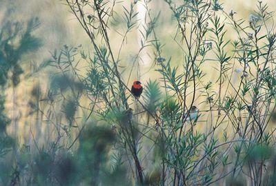11/6/04 Orange Bishop (African bird; non-native escapee). LA Audubon Field Trip with Dan Cooper.
