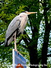 Heron near the Anne Frank House
