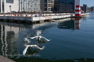 iSwans fly, skimming the water, n Copenhagen, Denmark.
