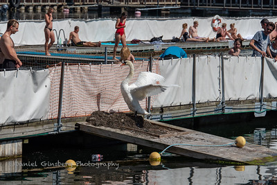 A swan flaps it's wings as people look on in Copenhagen, Denmark.