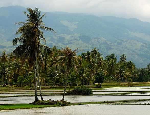 Palm trees near Jontho, Aceh.