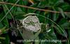 Giant Hogweed Bud