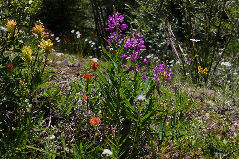 More wildflowers along the Moraine Lake access road. That road featured the best wildflowers of the trip and, naturally, the fewest places to pull over.