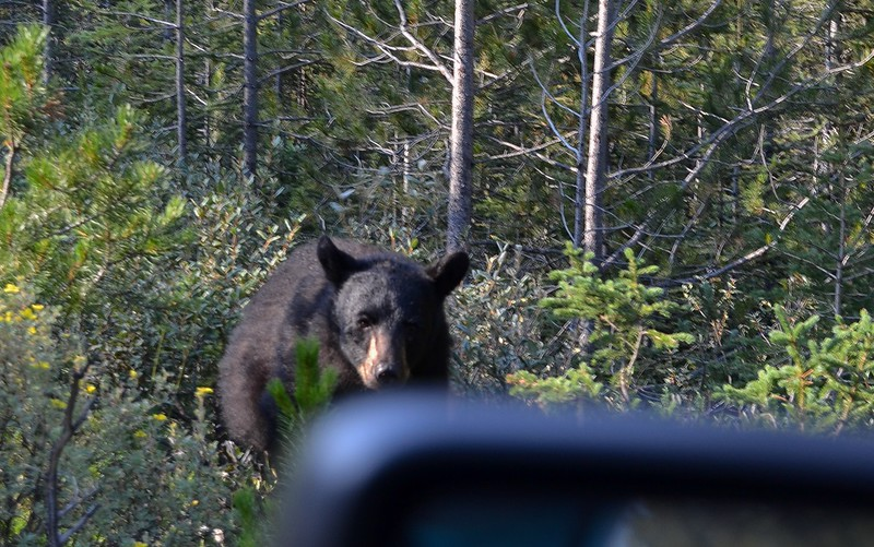 The 2nd of 3 close bear encounters on the short (30 miles) Bow Valley Parkway was over quickly. A huge Black Bear ran right past the car at 6 feet away. Jan took this image after reluctantly heeded my photo tip to roll down the window for better focus! Yes, in the heat of the moment I really said that. The Bow Valley Parkway is so active with wildlife the speed limit is only 60km (38MPH).
