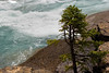 Stunted Spruce Tree, Mistaya River