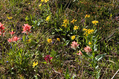 Cavell Meadows Flowers
