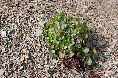Alpine Plant Growing in Scree