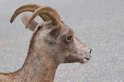 Bighorn Sheep Ewe Closeup