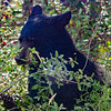 Black Bear Eating Berries - Banff National Park