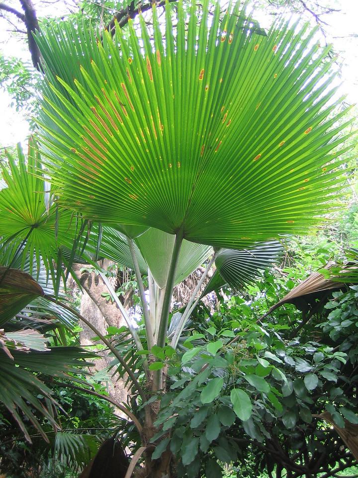 Giant fan palm.