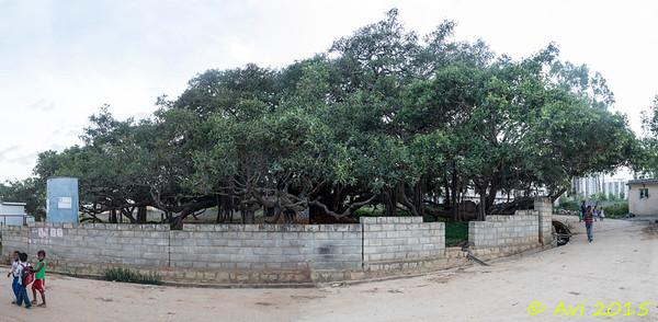 110 Year Old Banyan Tree