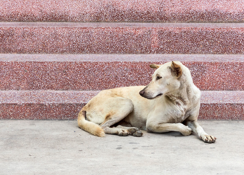 Street dog by the temple.