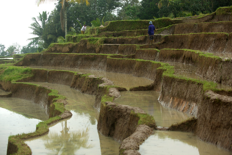 Tiered rice field