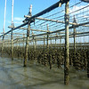 Oyster Farm, Gulf of Thailand