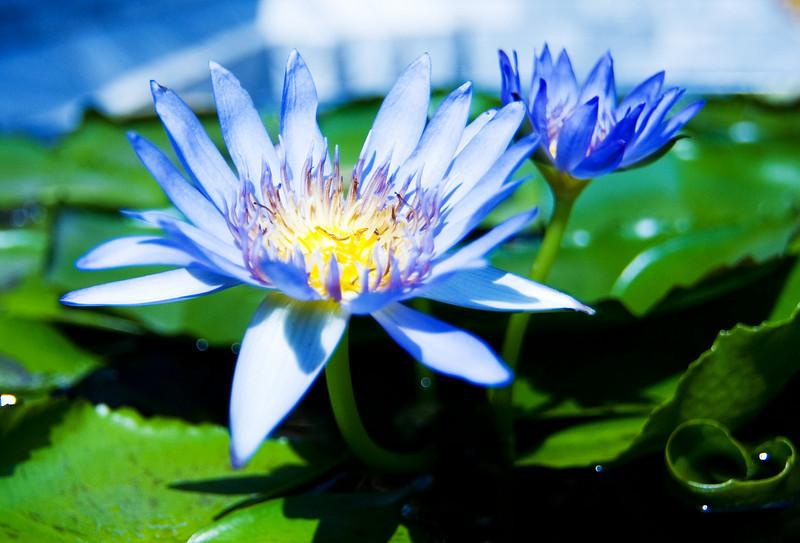 Water lily at the Grand Palace in Bangkok