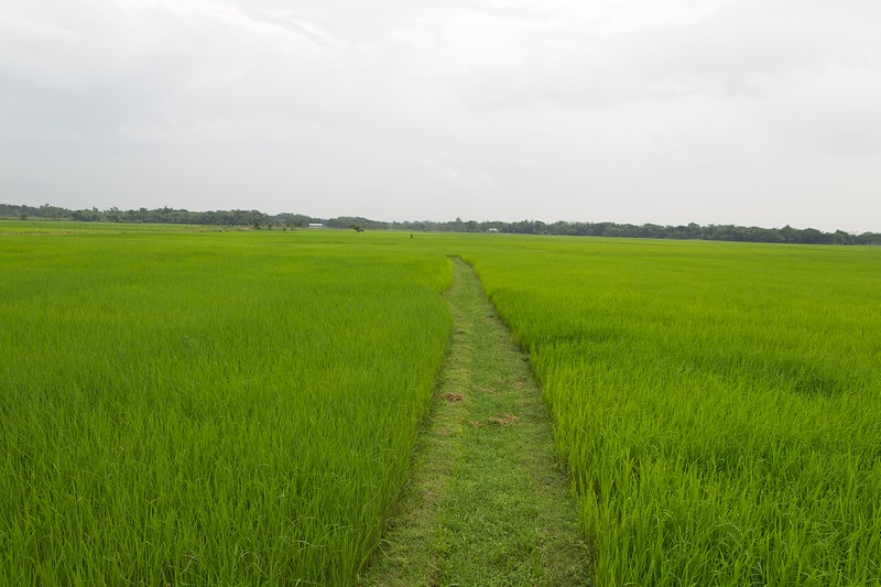 Endless rice fields.