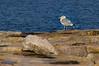 Gull at Otter Cliffs