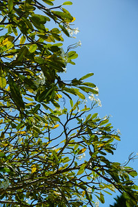 Flowering Tree, Blue Sky