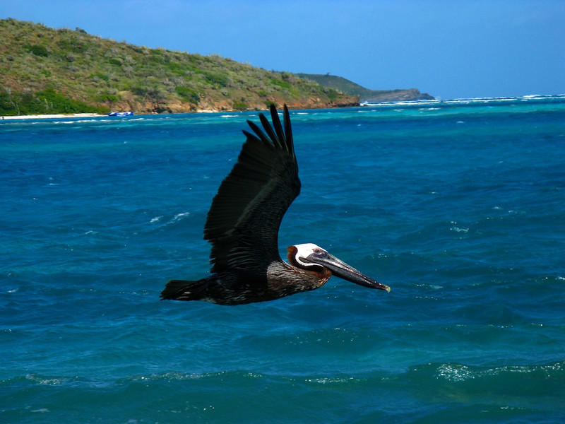 Our friend the hungry pelican.