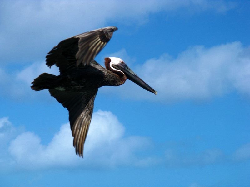 Our friend the hungry pelican, poses for a glamour shot off Virgin Gorda.