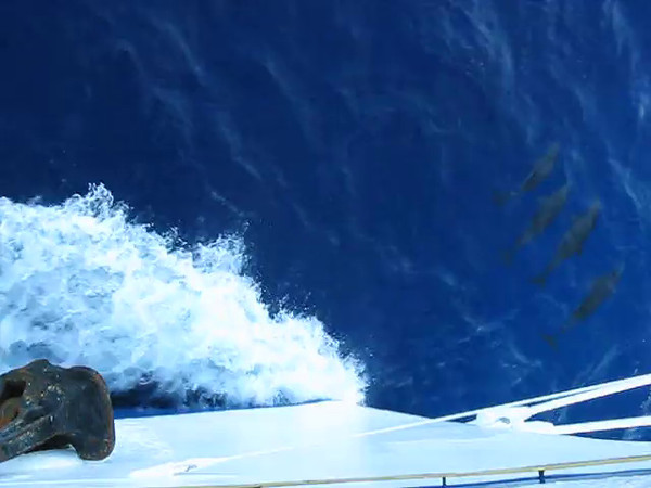 Dolphins surfing off the bow wave of the Royal Clipper. They were having fun!