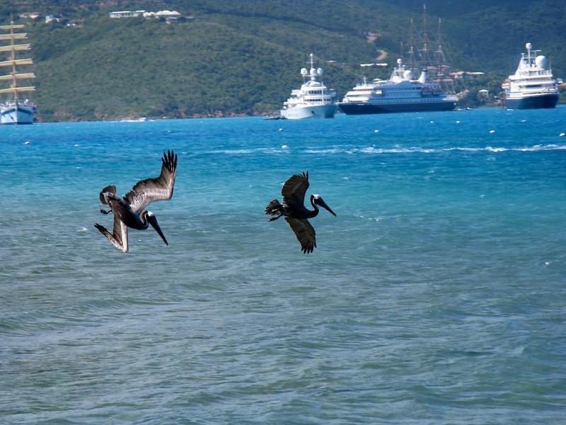 The pelicans practice synchronized fishing off Virgin Gorda.