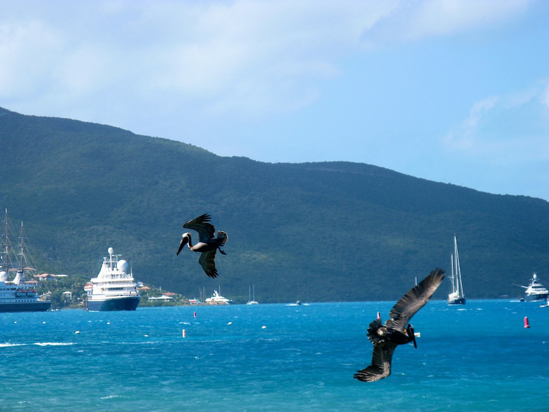 The hungry pelican is joined by another off Virgin Gorda.