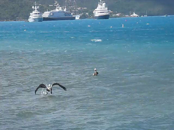 Both pelicans get a fish off Virgin Gorda.