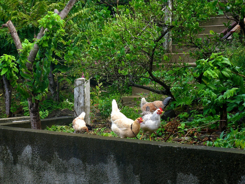Chickens in Iles des Saintes, French West Indies