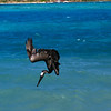 Our friend the hungry pelican, dives (successfully) for a fish off Virgin Gorda.