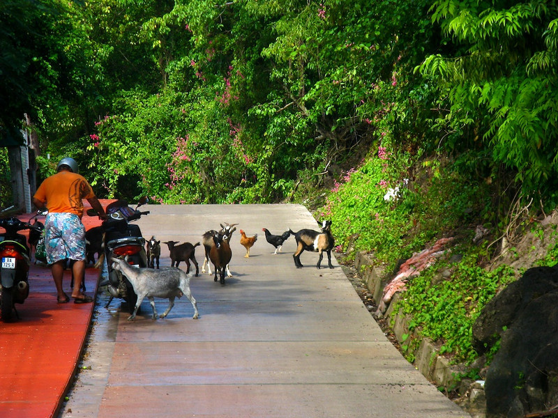 Goats and chickens in the road, Iles des Saintes, French West Indies