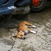 Very sleepy dogs on Iles des Saintes, French West Indies