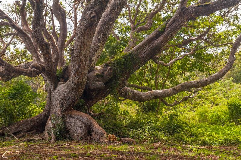 An Ancient 'Tree-of-Life Plantation Estate Tree